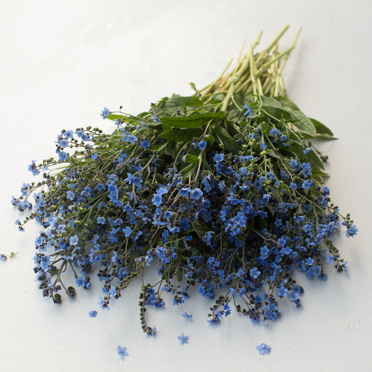 Chinese Forget Me Nots Floret