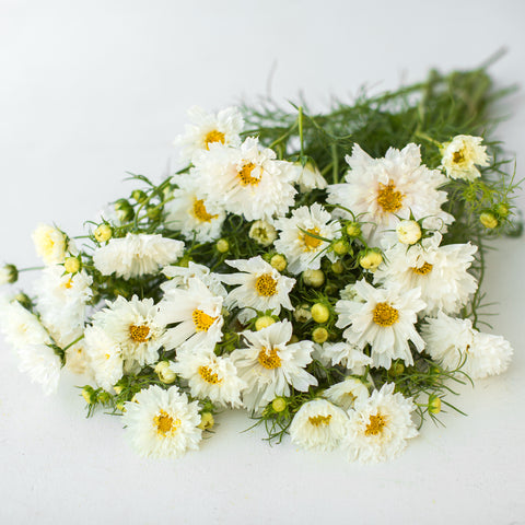 Cosmos Double Click Snow Puff