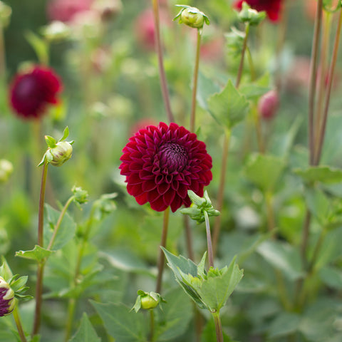 Dahlia Chimacum Night