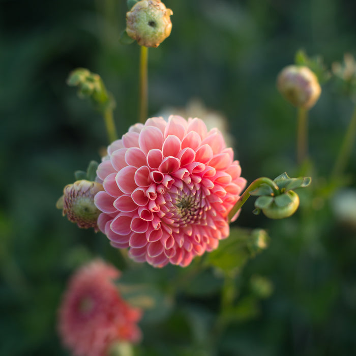 Dahlia Crichton Honey