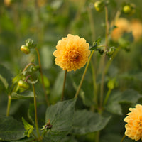 Dahlia Golden Scepter