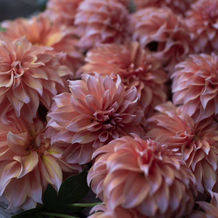 Dahlia Peaches N' Cream