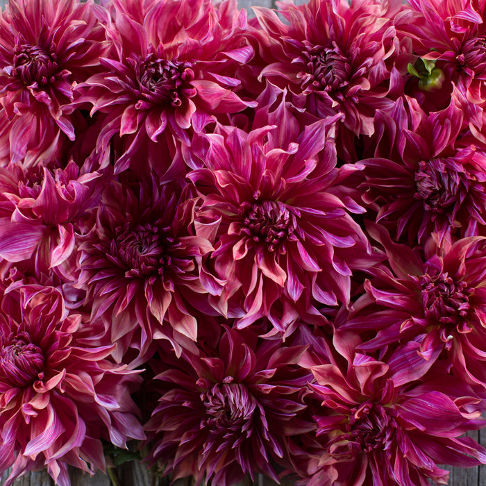 Dahlia Penhill Dark Monarch