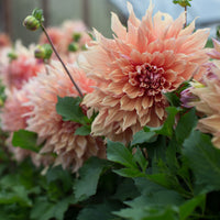 Dahlia Sherwood's Peach