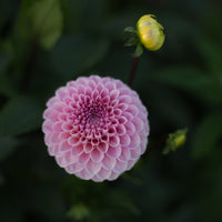 Dahlia Wizard of Oz