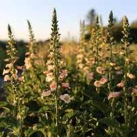 Dalmation Peach Foxglove Floret Flowers