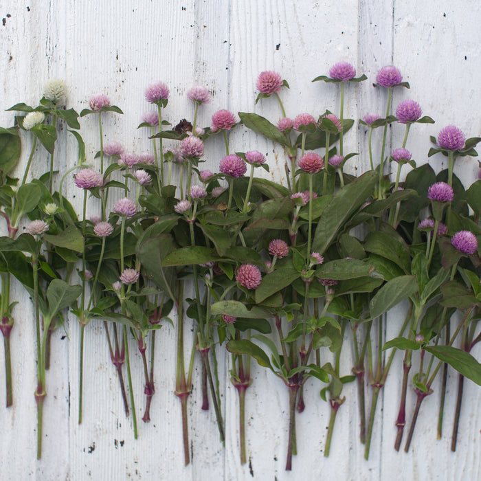 Globe Amaranth Pastel Mix Floret Flowers
