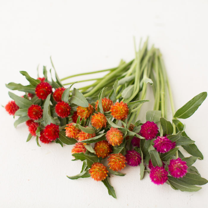 Globe Amaranth Sunset Mix Floret Flowers
