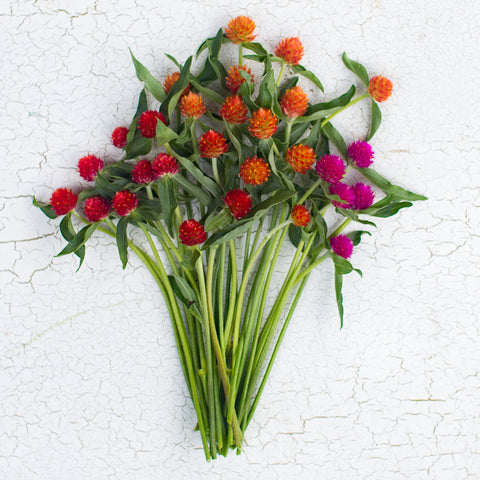 Globe Amaranth Sunset Mix Floret Flower Farm