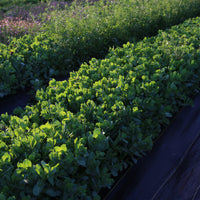 Honeywort Pride of Gibraltar