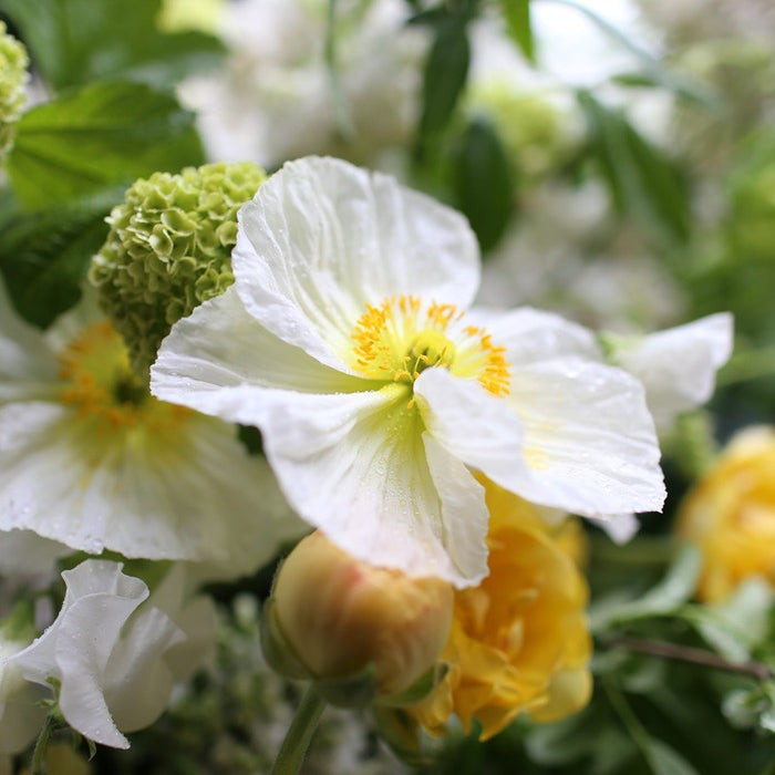Iceland Poppies Champagne Bubbles White