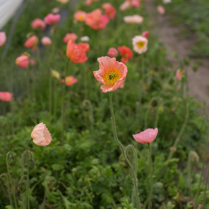 Iceland Poppies Sherbet Mix