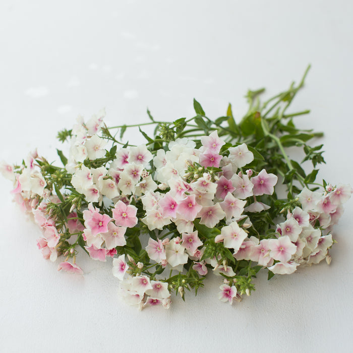 Phlox Blushing Bride