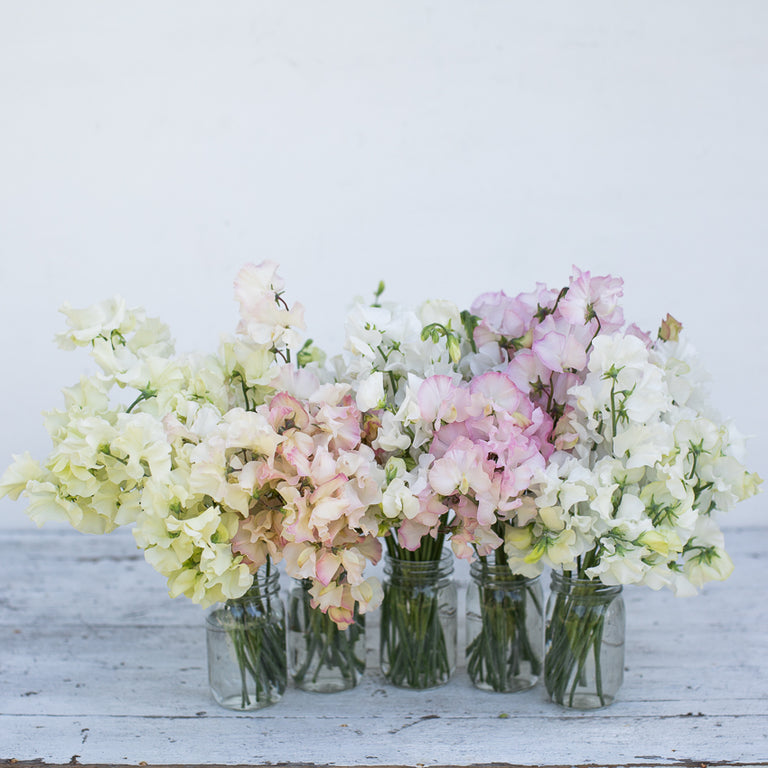 Seed Collection Sweet Pea Victorian Wedding