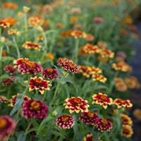 Zinnia Aztec Sunset