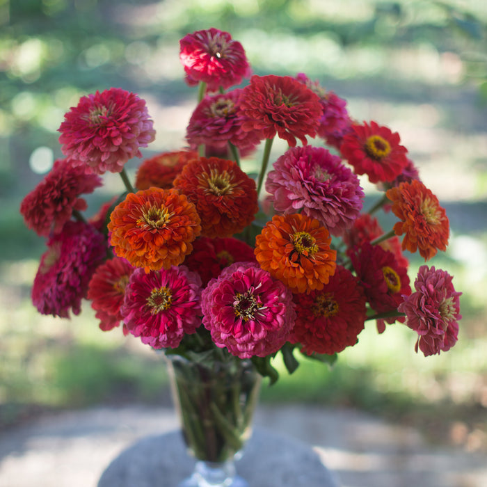 Zinnia Desert Sunset Mix