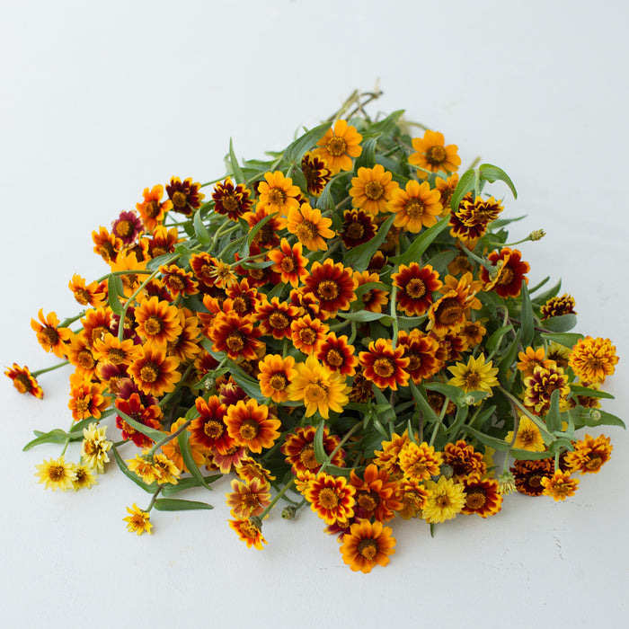 Zinnia Persian Carpet Mix