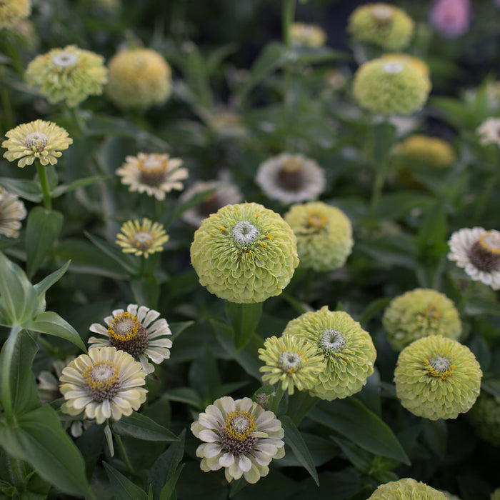 Zinnia Queen Lime
