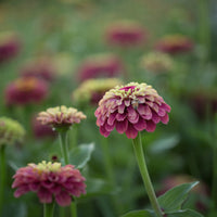Zinnia Queen Red Lime