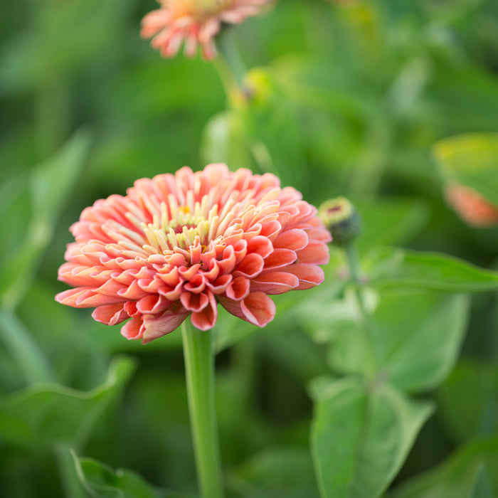 Zinnia Benary's Giant Salmon Rose