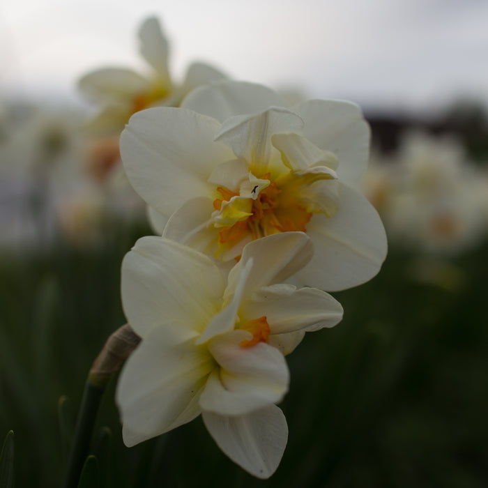 Narcissus Flower Drift
