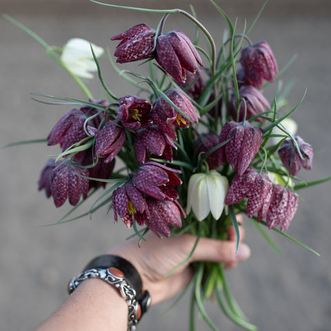 Fritillaria meleagris Mixed