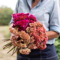 Celosia Fruit Punch