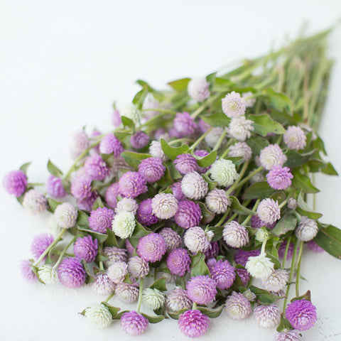 Globe Amaranth Pastel Mix