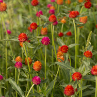 Globe Amaranth Sunset Mix