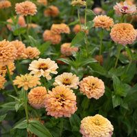Zinnia Golden Hour