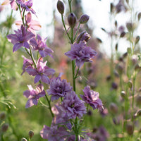 Larkspur Earl Grey