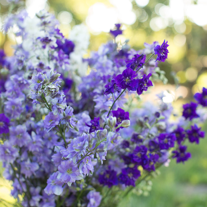 Larkspur Summer Skies Mix
