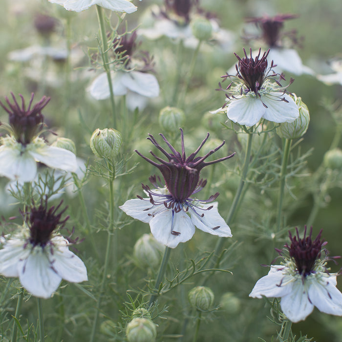 Love-in-a-Mist African Bride