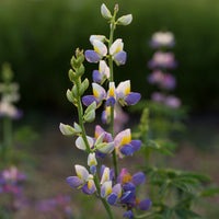 Lupine Sunrise