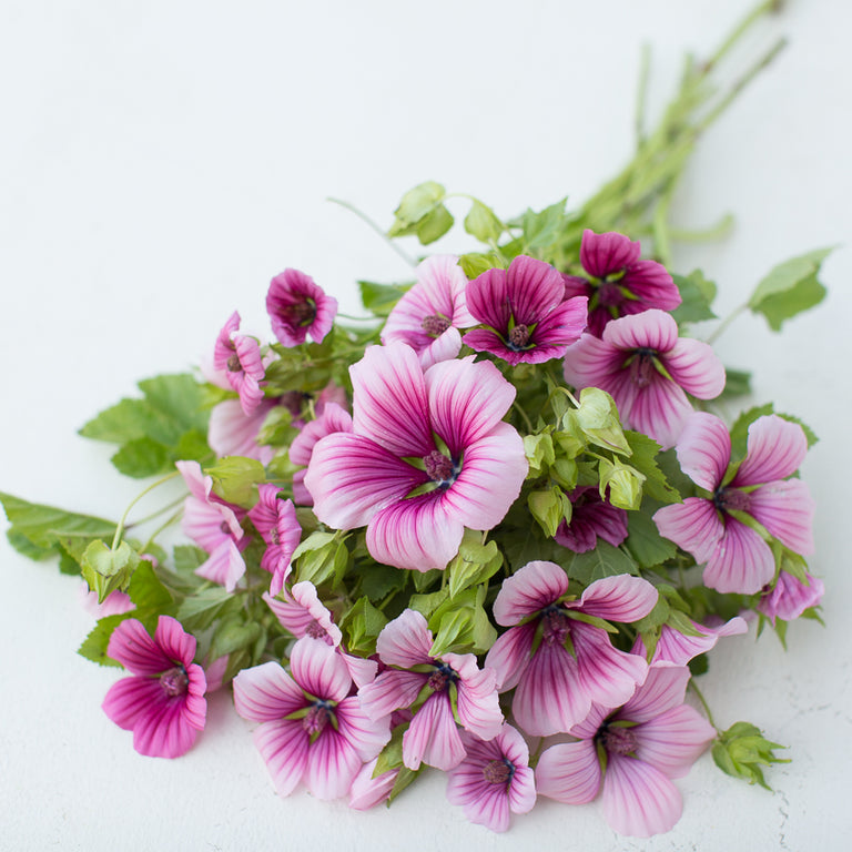 Malope Queen Pink