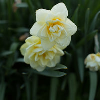 Narcissus Manly