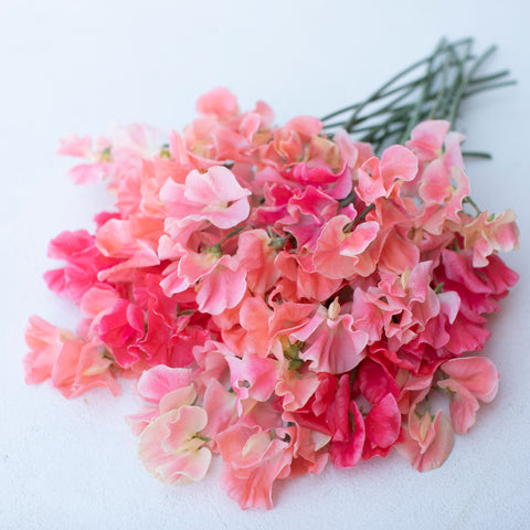 Sweet Pea Grower's Choice Ambrosia Mix