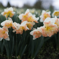 Narcissus Apricot Whirl