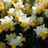 Narcissus Spring Sunshine