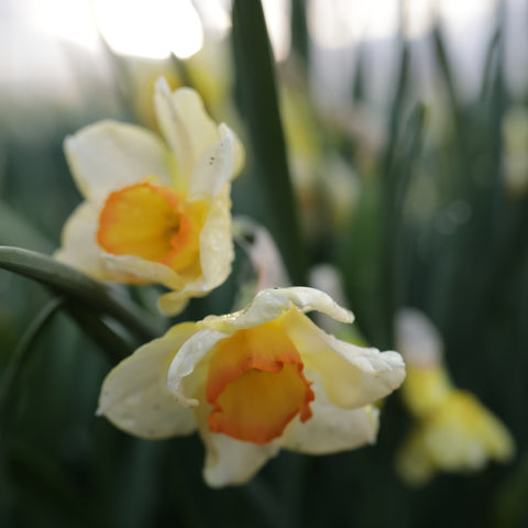 Narcissus Yazz