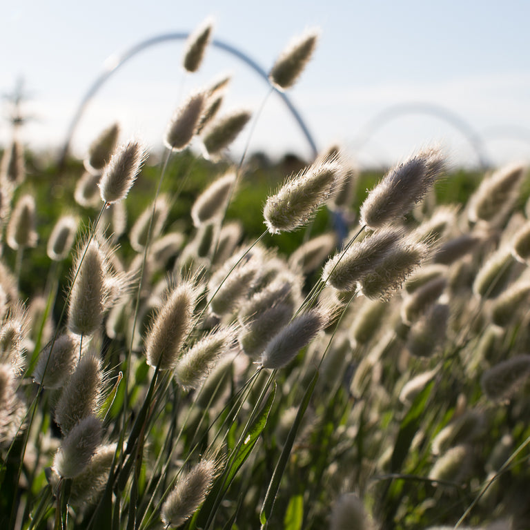 Bunny Tails Ornamental Grass Ornamental grass bunny tails floret shop ornamental grass bunny tails workwithnaturefo