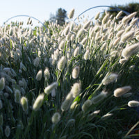 Ornamental Grass Bunny Tails