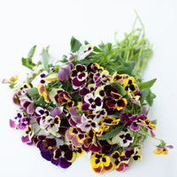 Pansy Aalsmeer King Size Mix