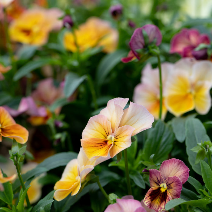 Pansy Nature Antique Shades