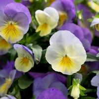 Pansy Cool Wave Blueberry Swirl