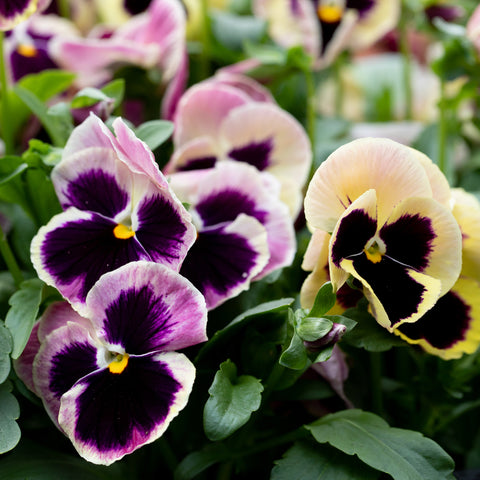 Pansy Majestic Giants Sherry