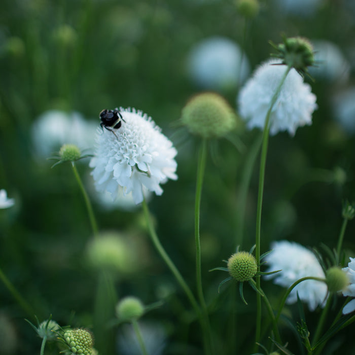Pincushion Flower Snow Maiden