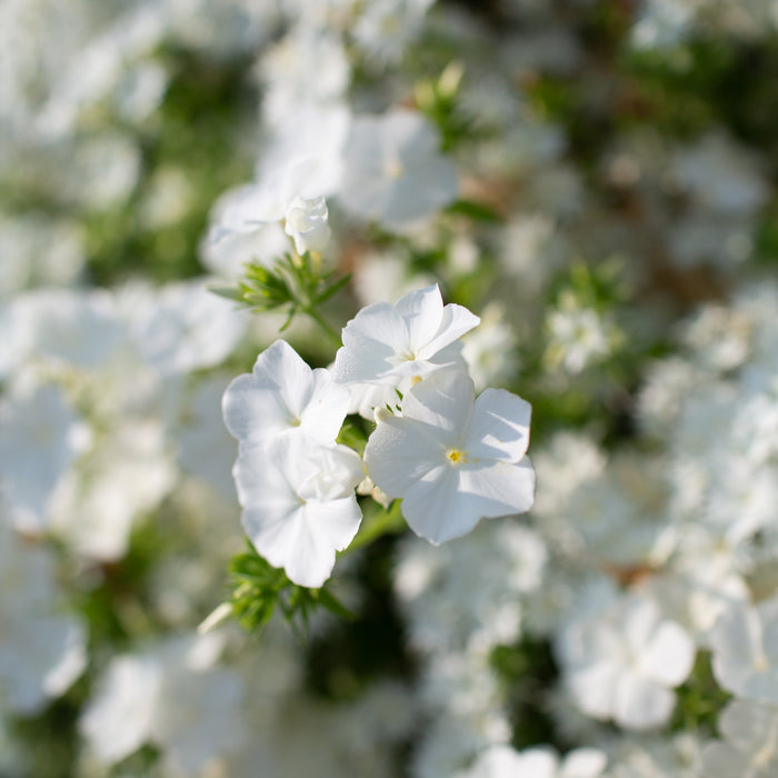 Phlox Whipped Cream