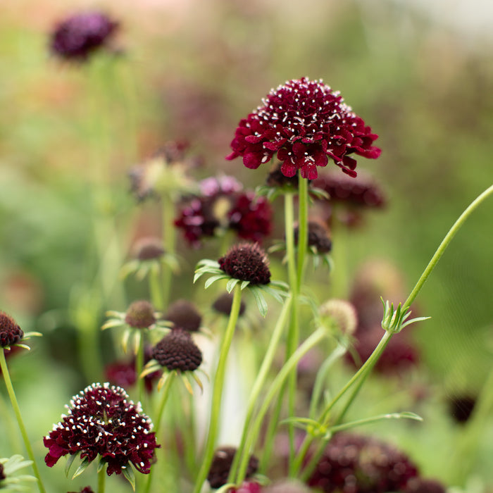 Pincushion Flower Black Knight