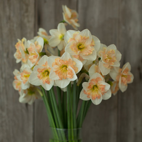 Narcissus Pink Wonder